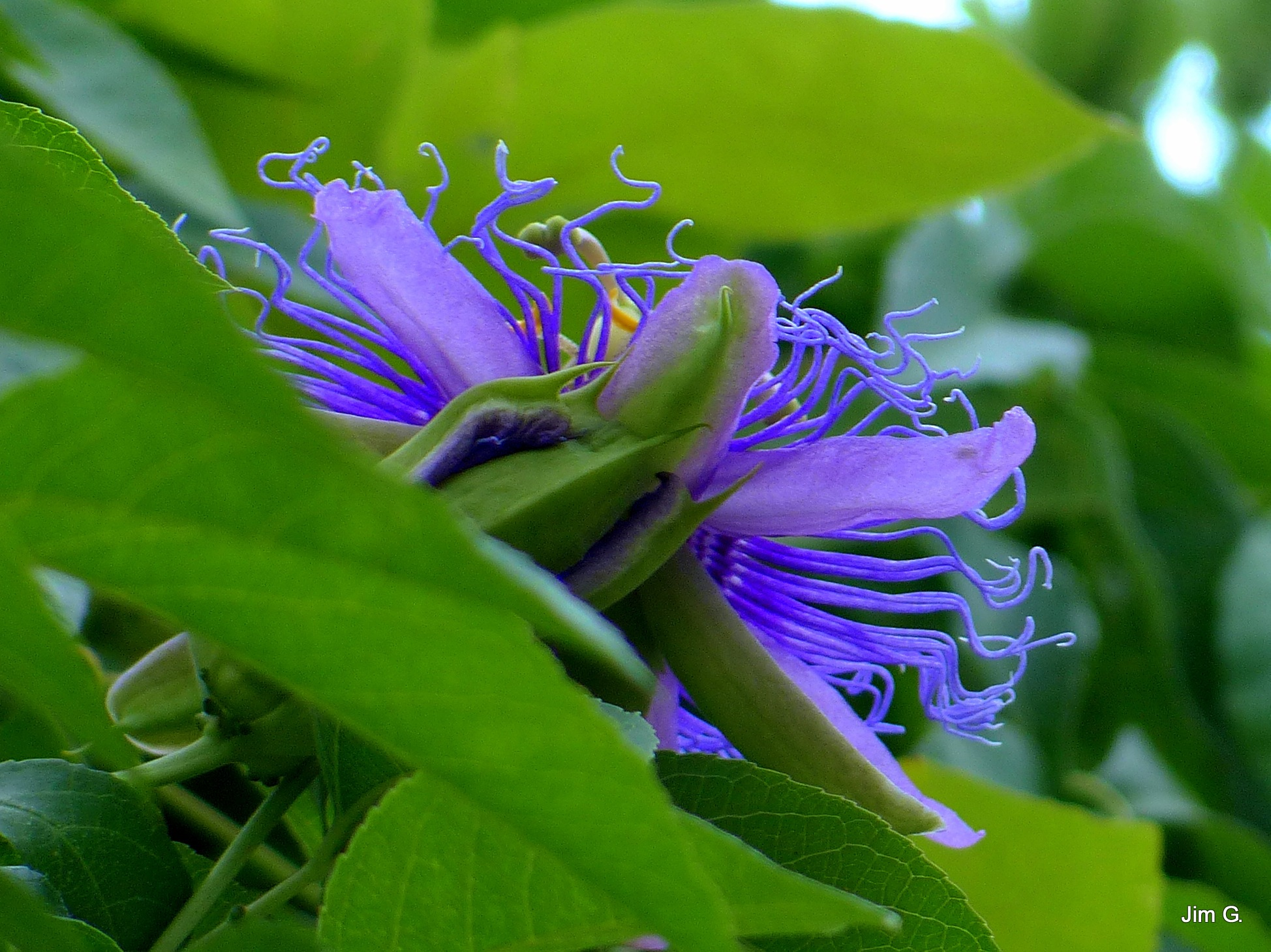 Passion Flower Bloom Hiding by Jim Graham