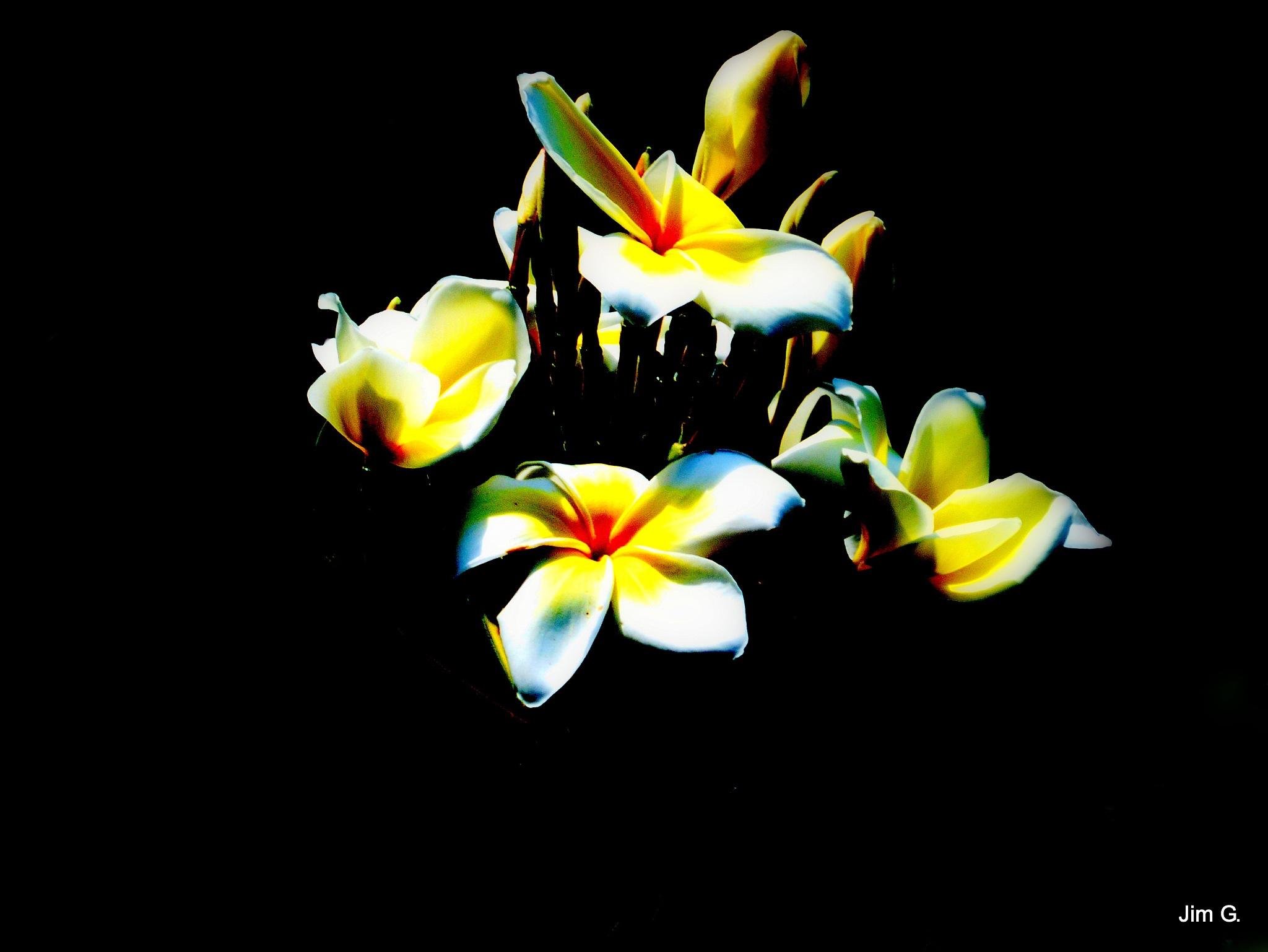 Plumeria at night by Jim Graham