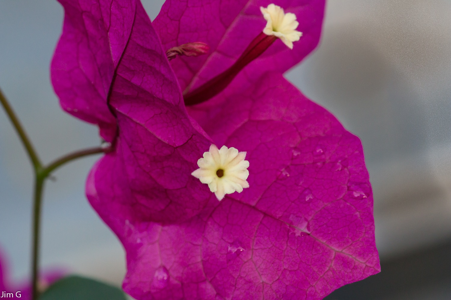 Bougainvillea Macro by Jim Graham