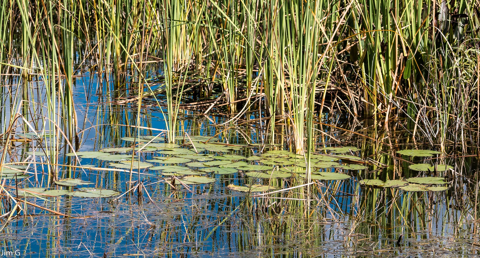 Reeds and Lillypads by Jim Graham