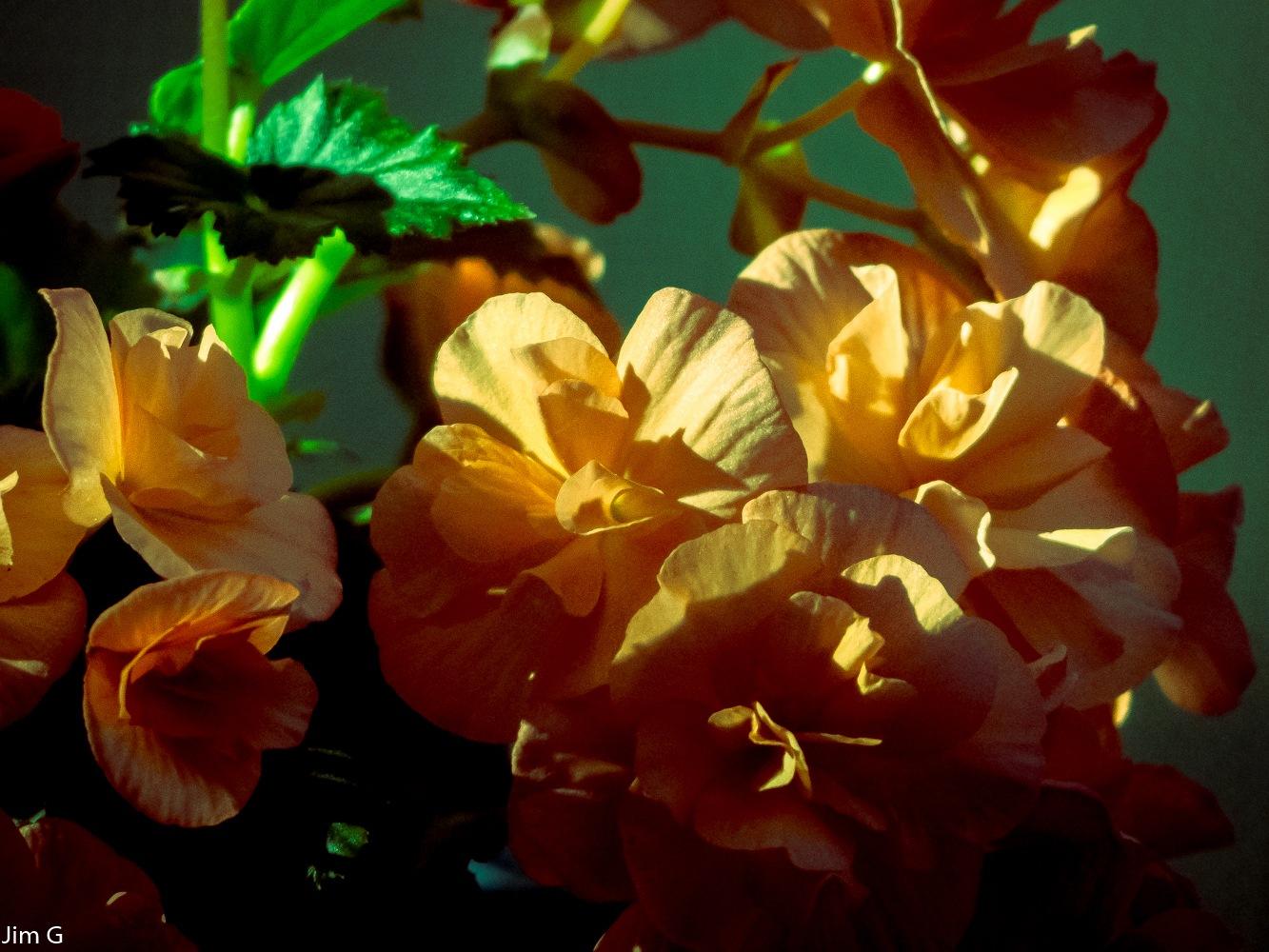 Begonia Blooms by Jim Graham