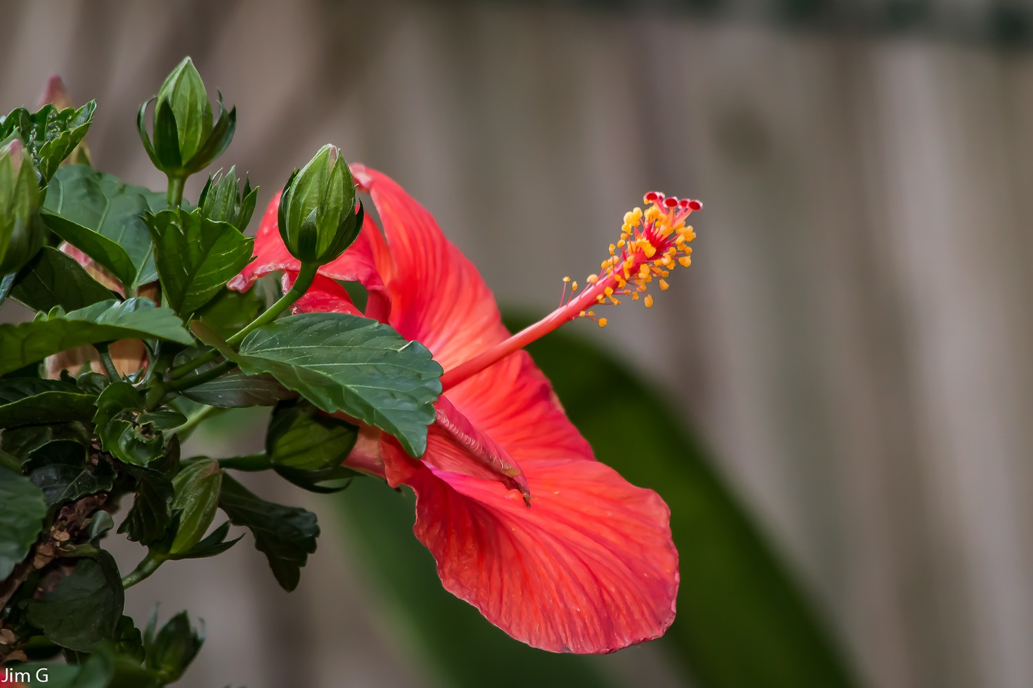 Hibiscus Bloom and Buds by Jim Graham