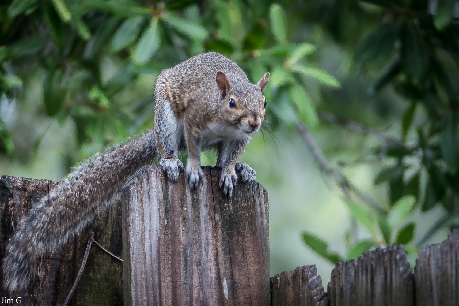 Squirrel about to leap by Jim Graham