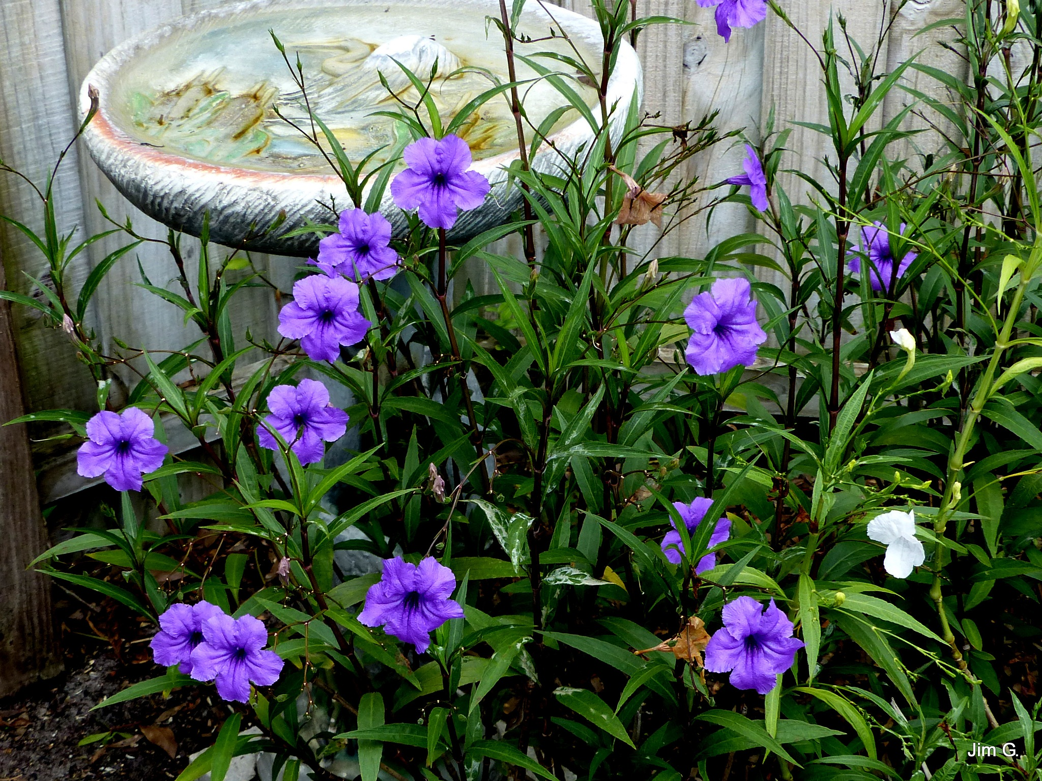 Ruellia plants and blooms by Jim Graham