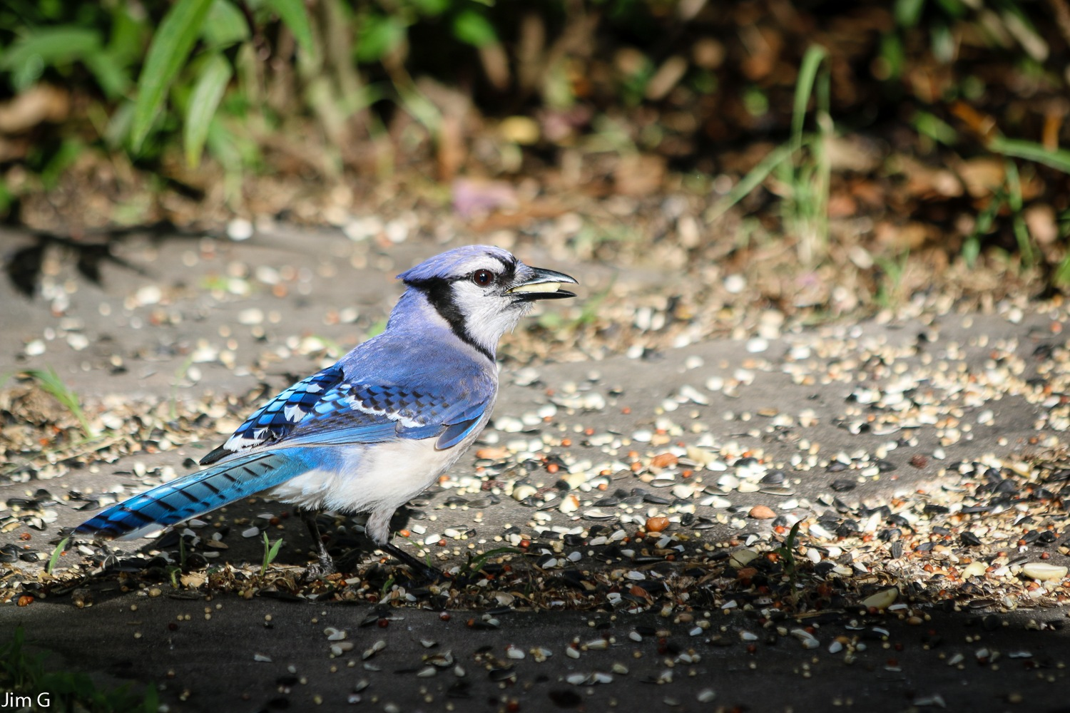 Bluejay with Peanut by Jim Graham