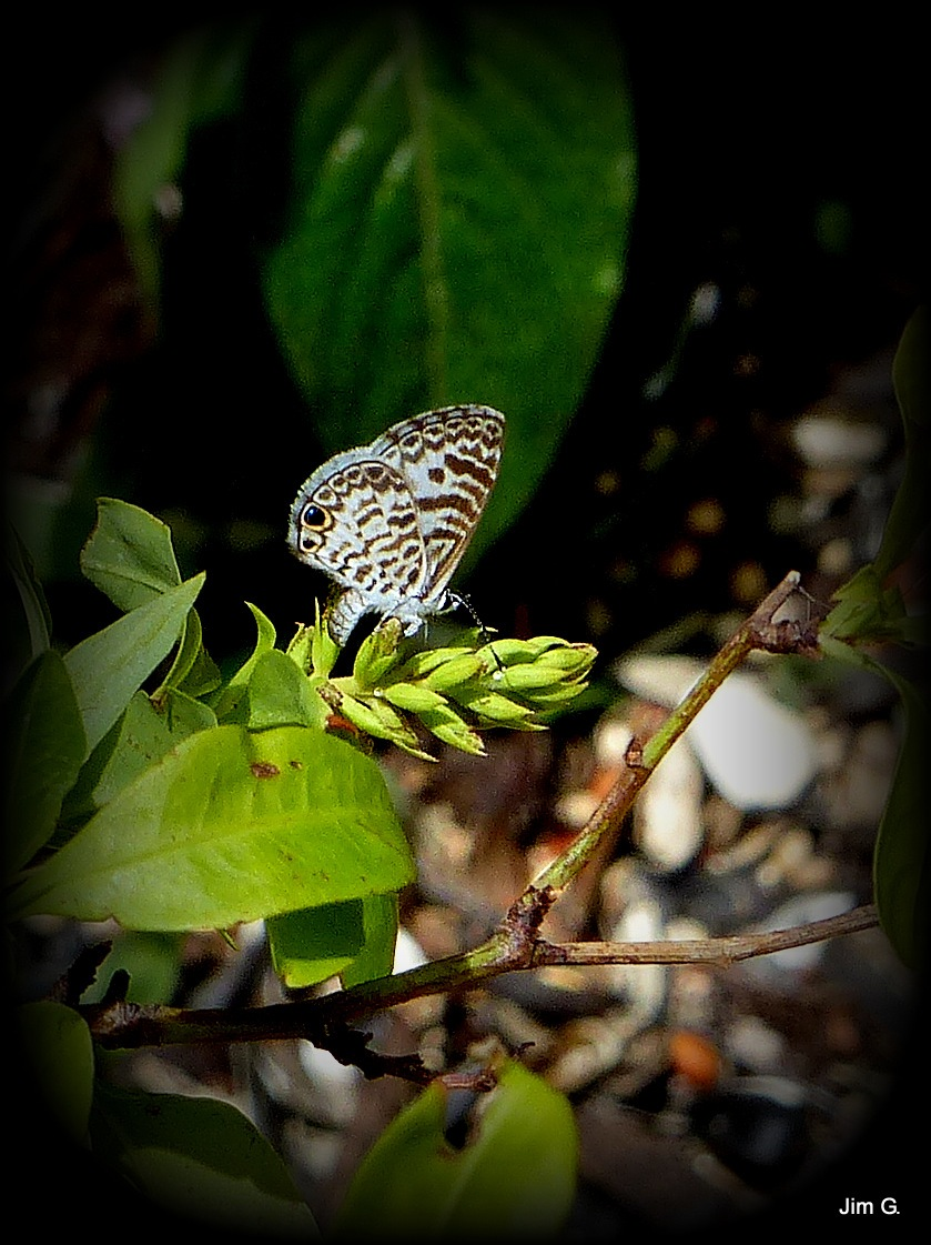 Butterfly on buds by Jim Graham