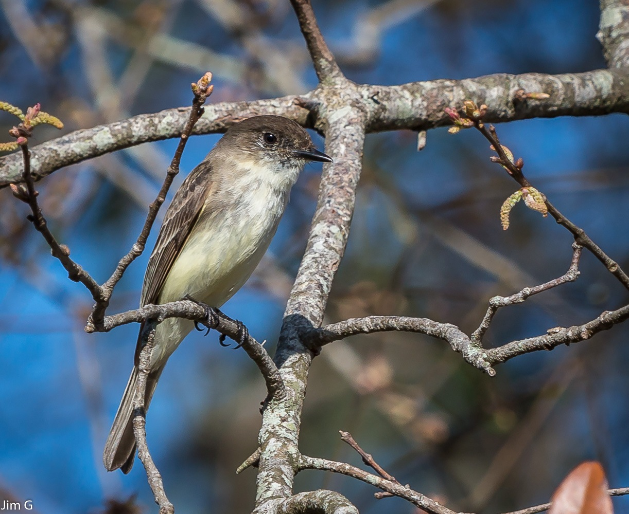 Least Flycatcher by Jim Graham