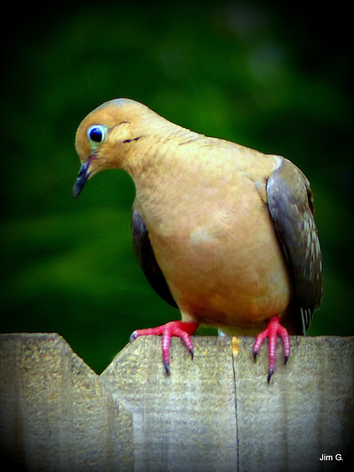 Mourning Dove Watching His Mate Feed by Jim Graham