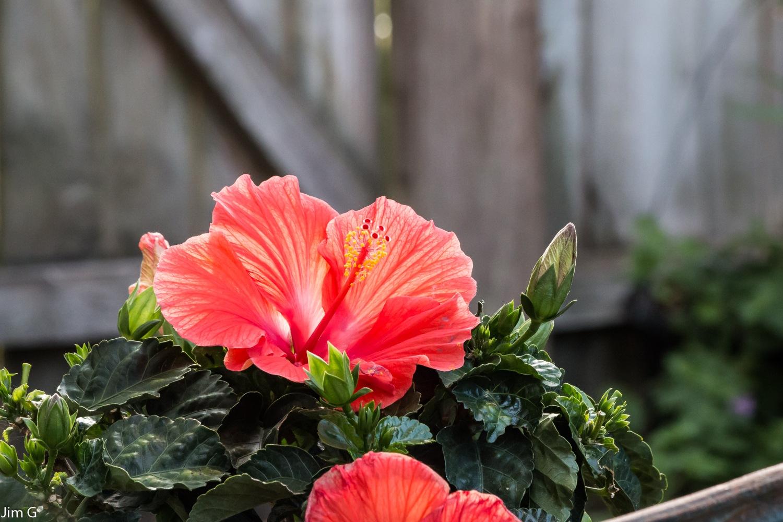 Hibiscus by Jim Graham