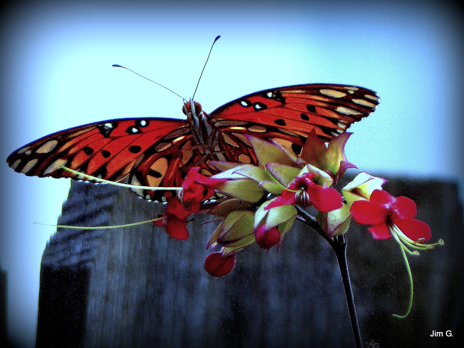 Butterfly on Bleeding Heart blooms by Jim Graham