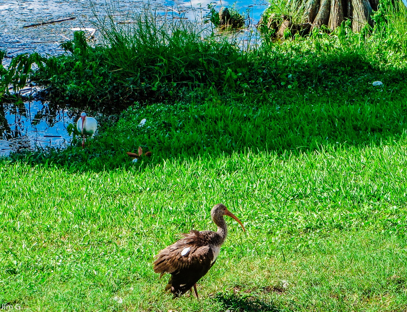 Juvenile Ibis.. Will become white at 3 years old by Jim Graham