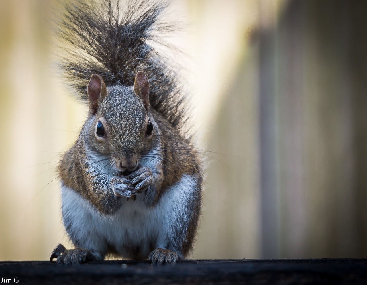 Baby Female Squirrel up close by Jim Graham