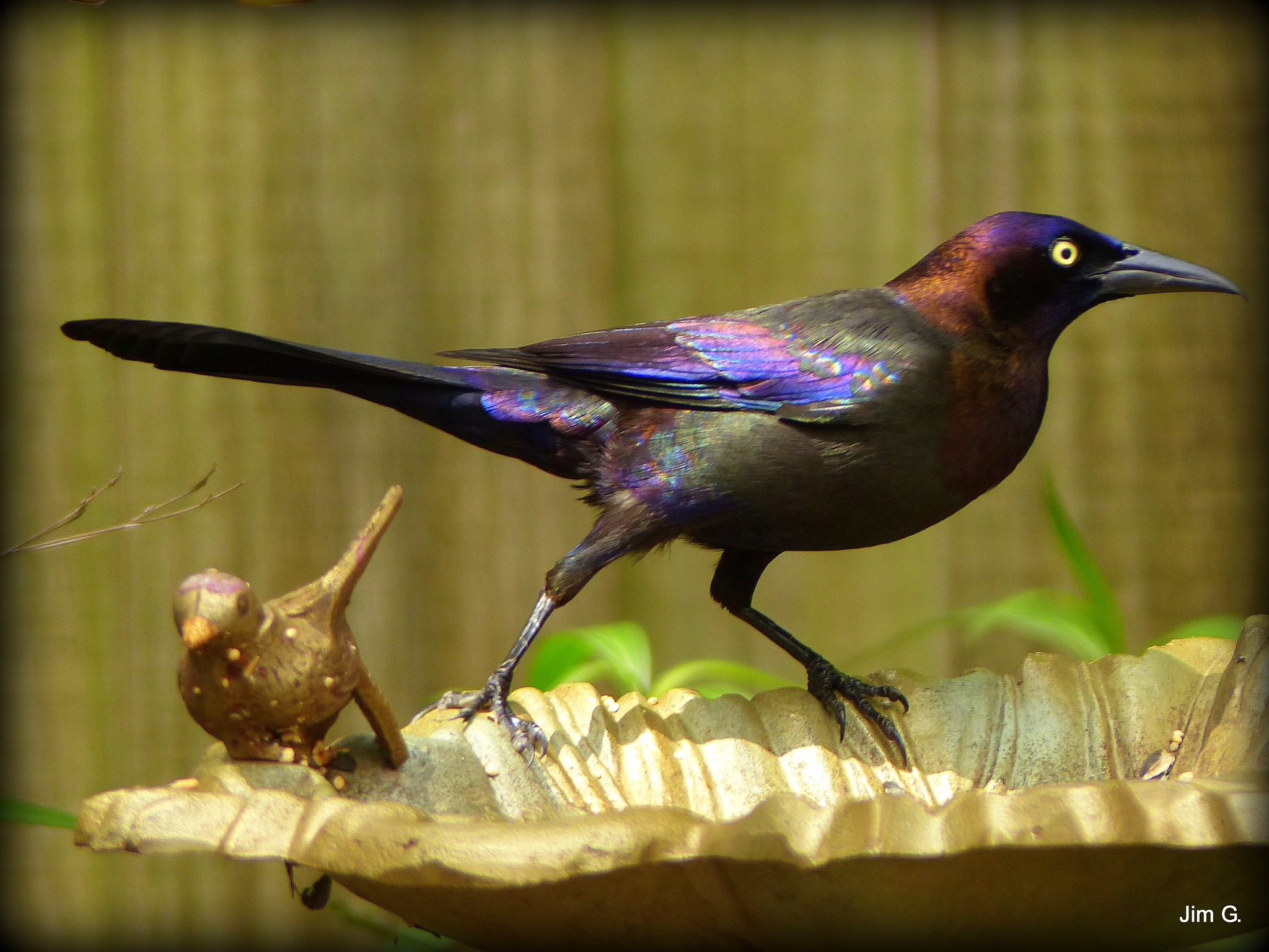Grackle staring down a squirrel who wants the bird feeder by Jim Graham