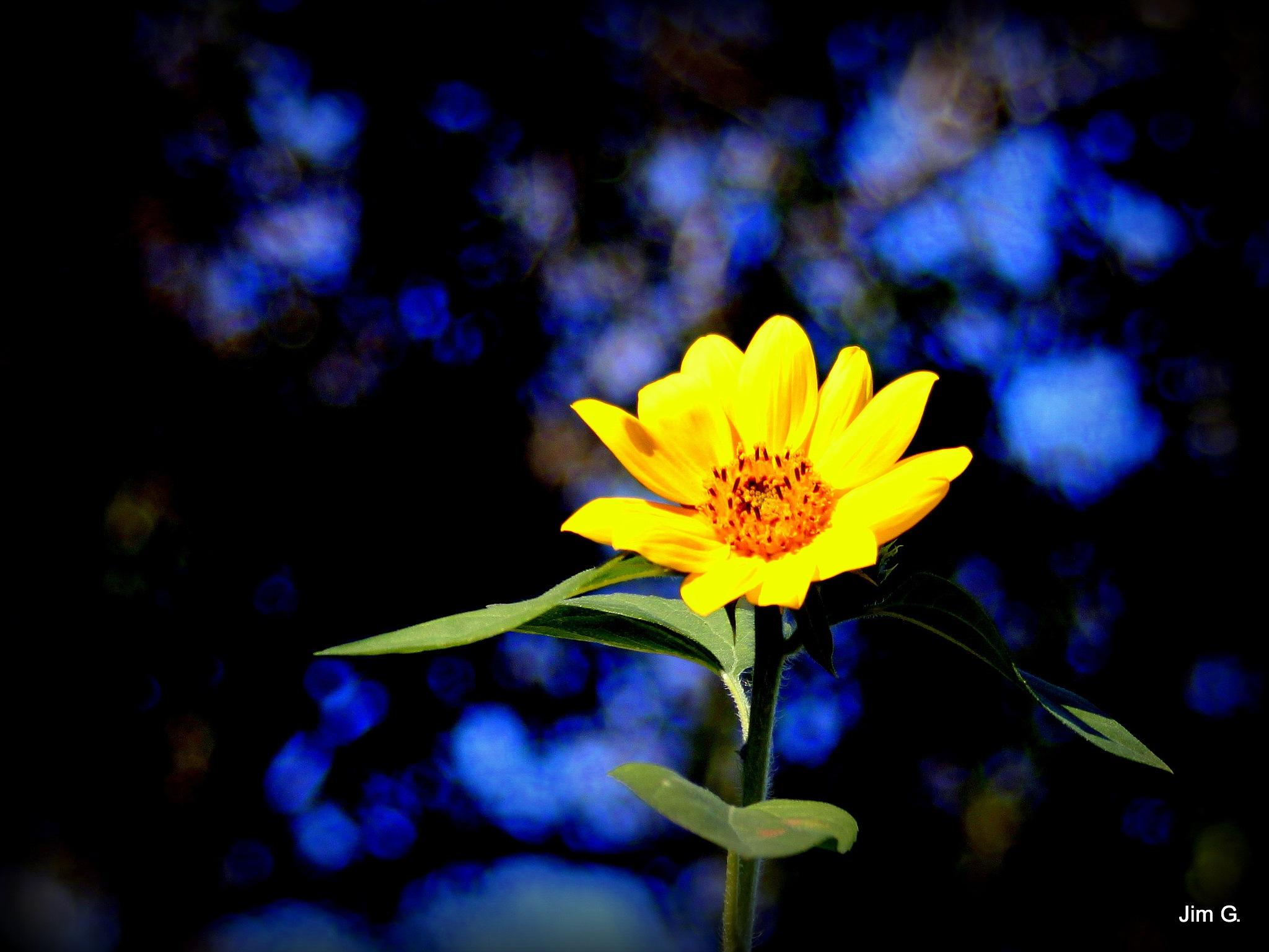 Sunflower in bright sunlight by Jim Graham
