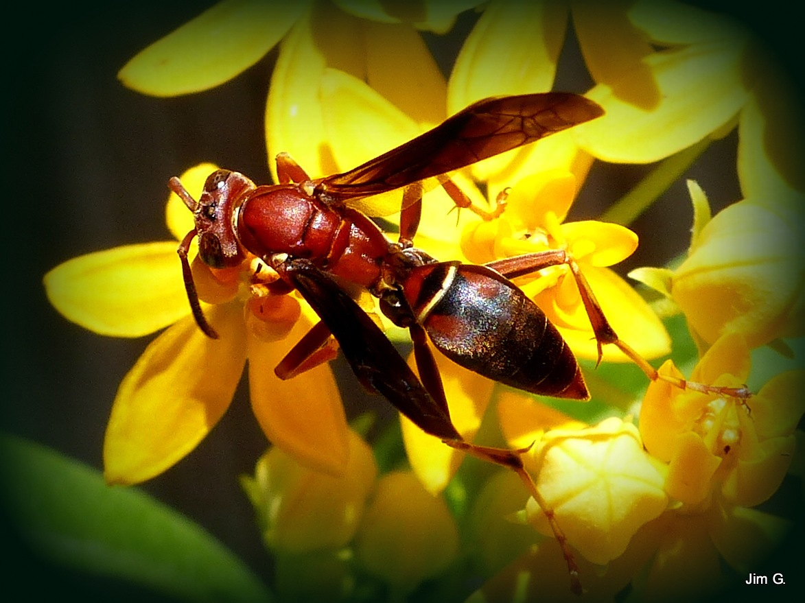Wasp on yellow blooms by Jim Graham