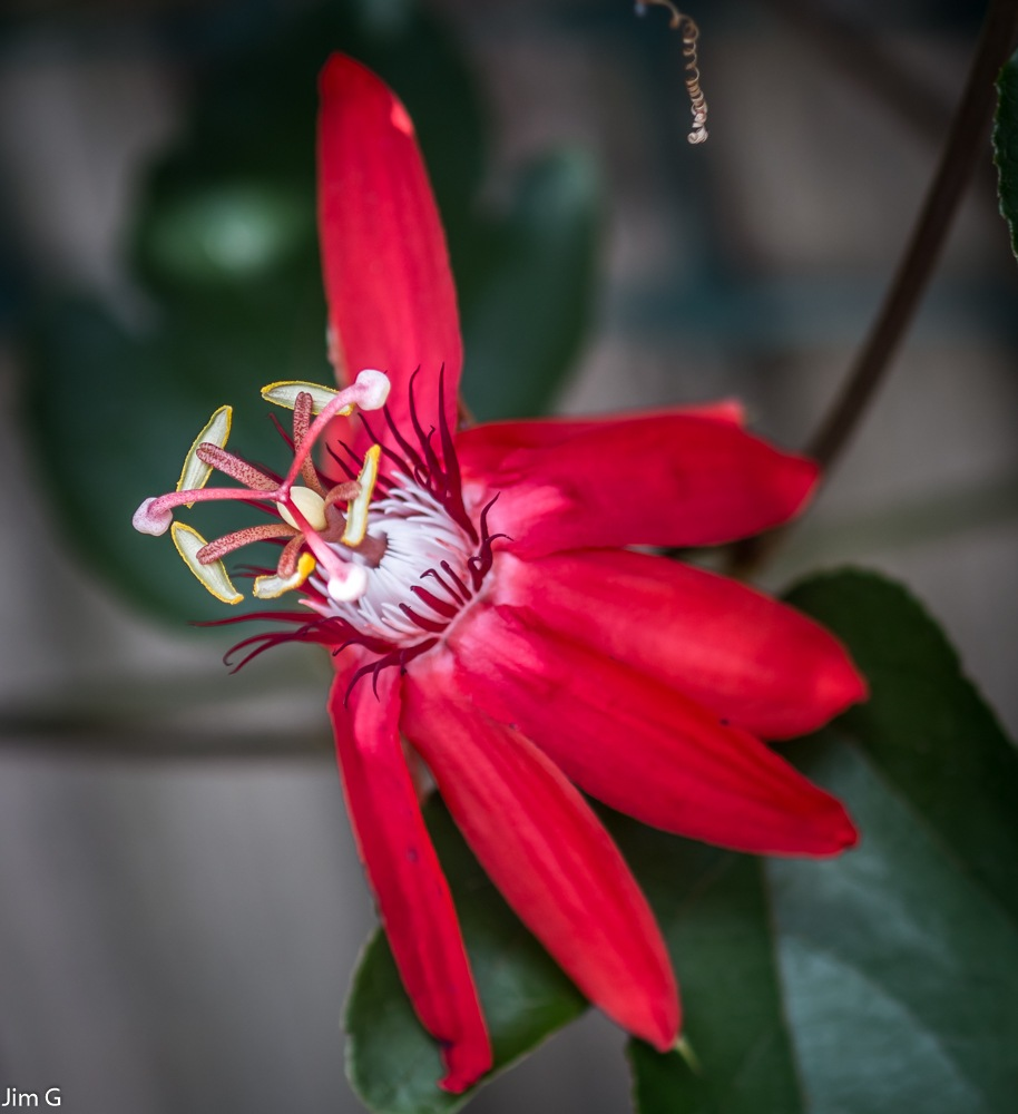 Passion Flower 2 by Jim Graham