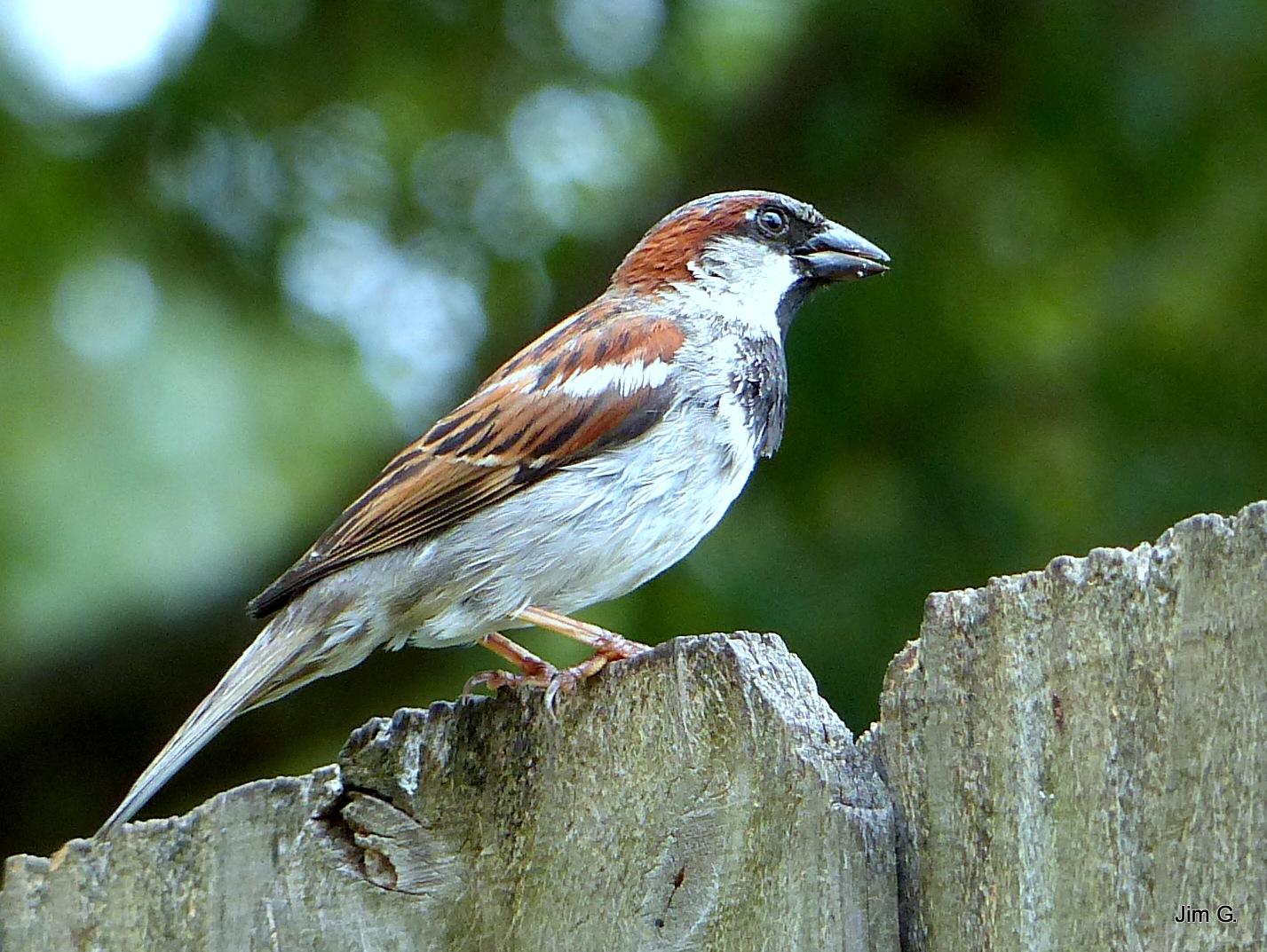 Alert Sparrow by Jim Graham