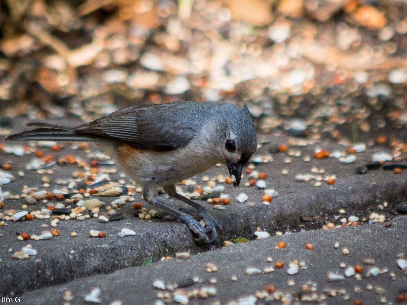 Tufted Titmouse by Jim Graham