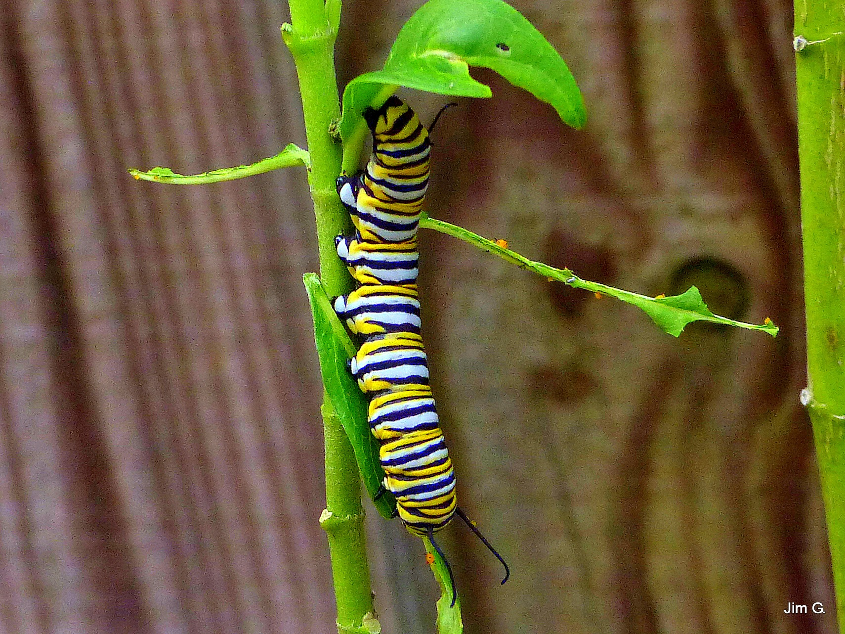 Colorful Caterpillar by Jim Graham