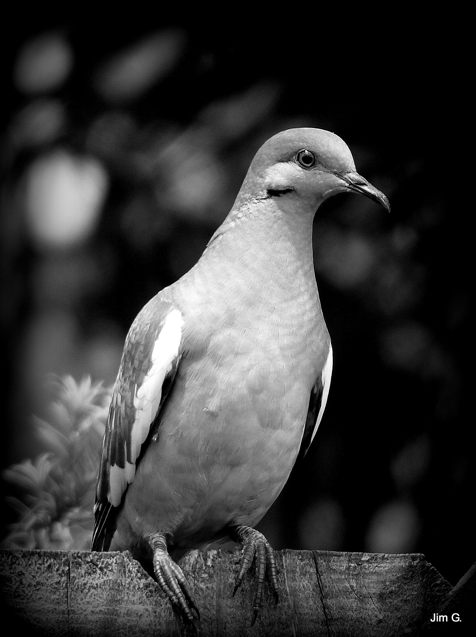 White winged dove by Jim Graham