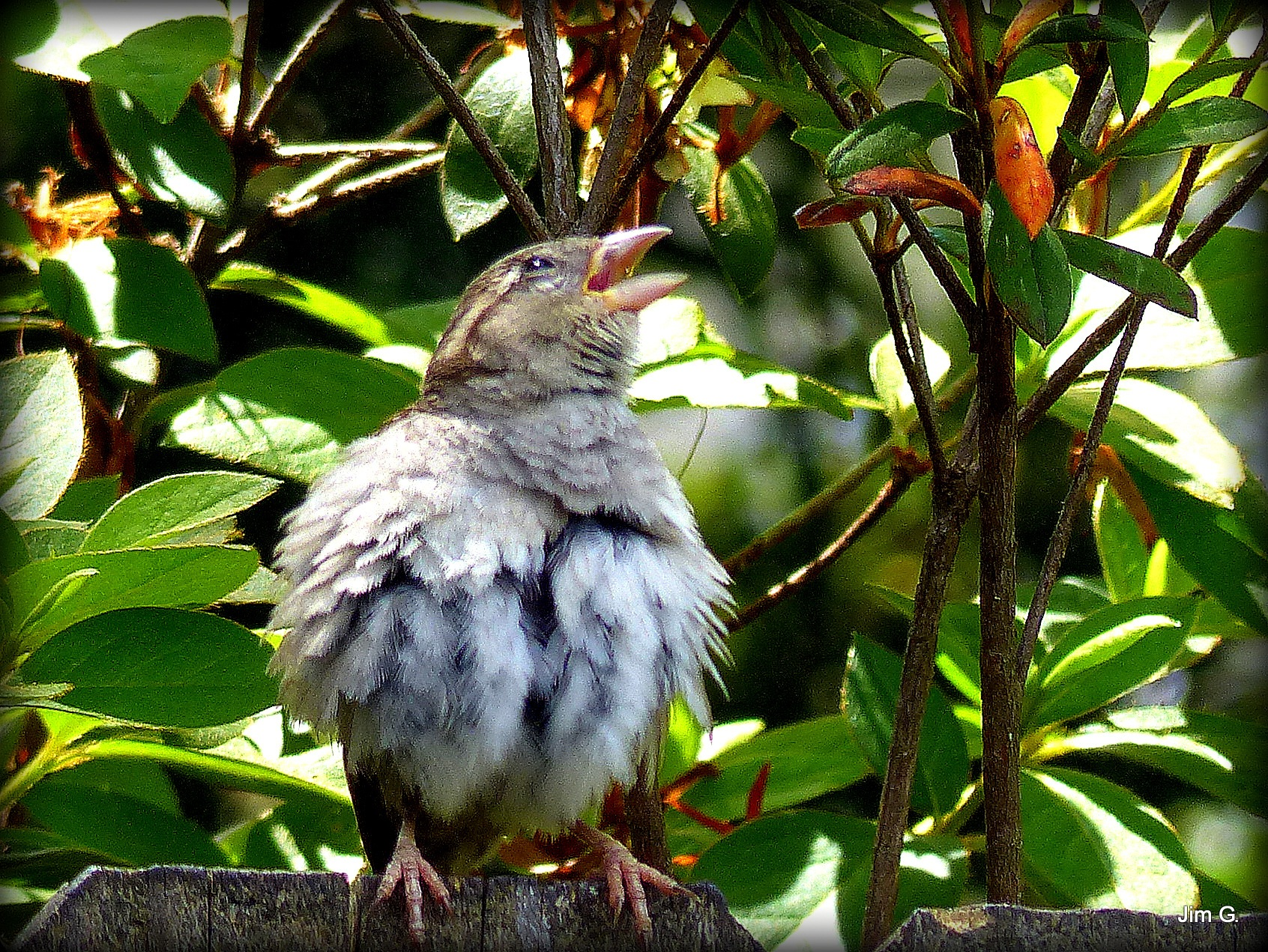 Sparrow with Feathers Roused by Jim Graham