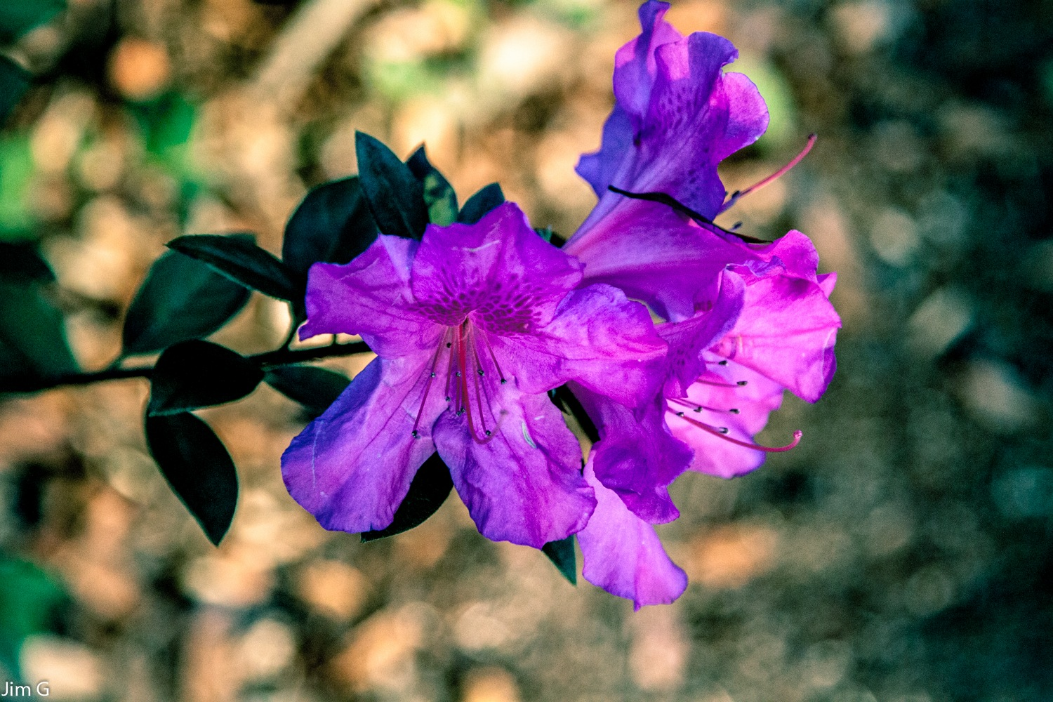 Azalias are blooming now in Florida. Temperature is 84 F for Christmas. by Jim Graham