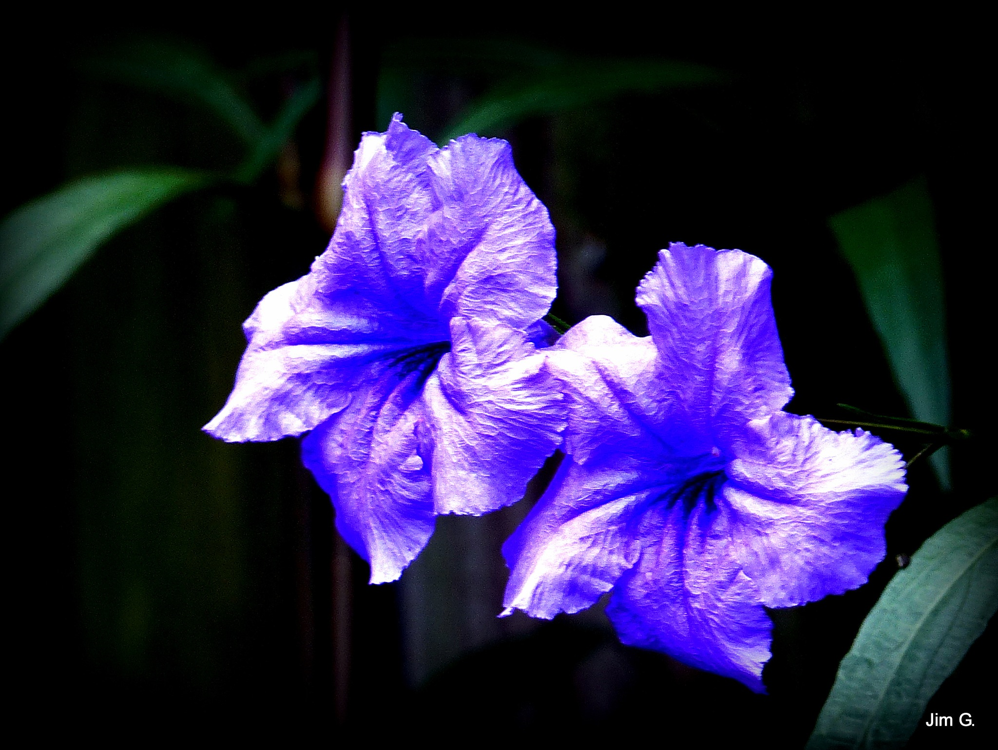 Twin Ruellia Blooms by Jim Graham