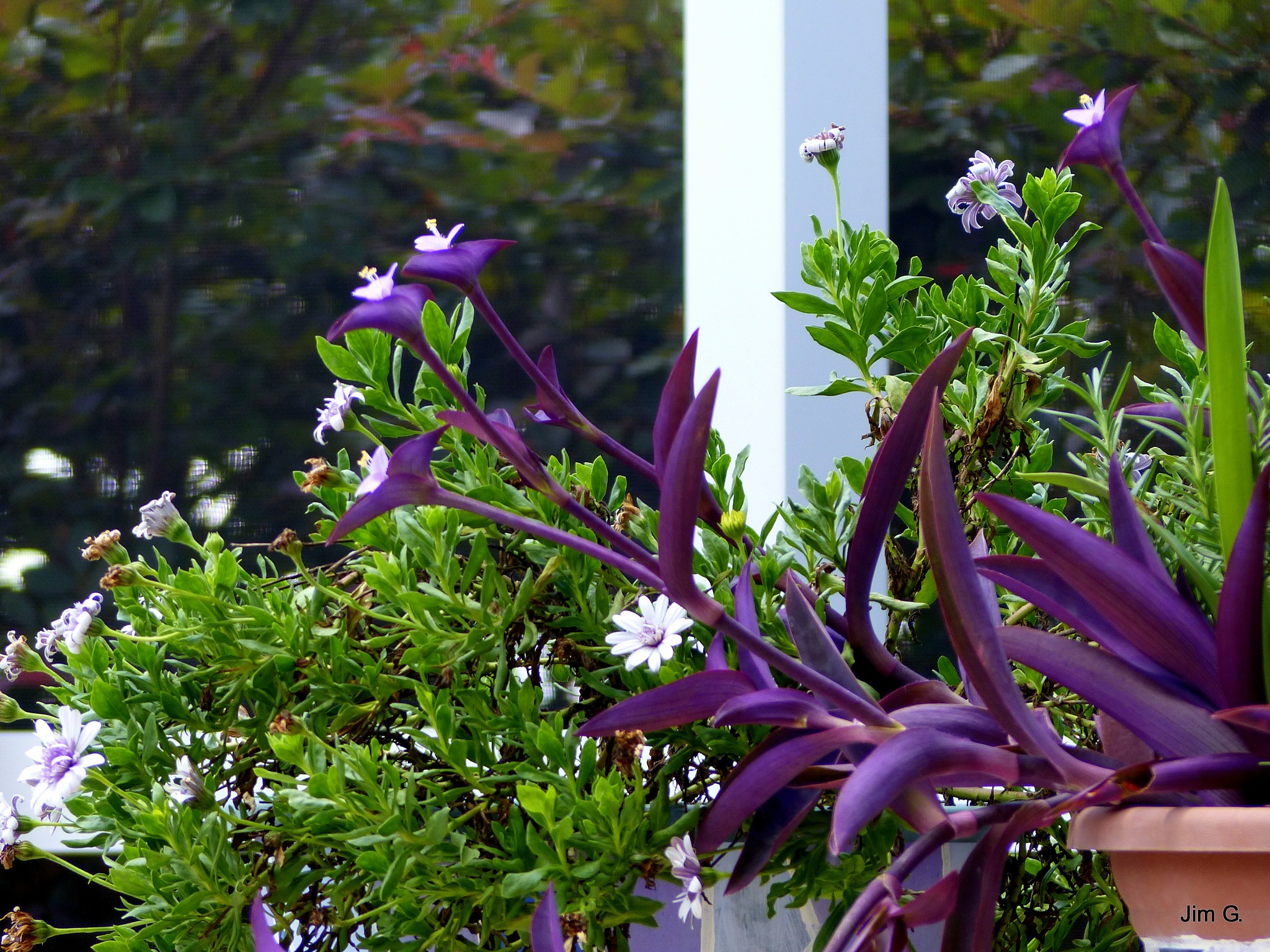 Purple plant in pot with blooms by Jim Graham