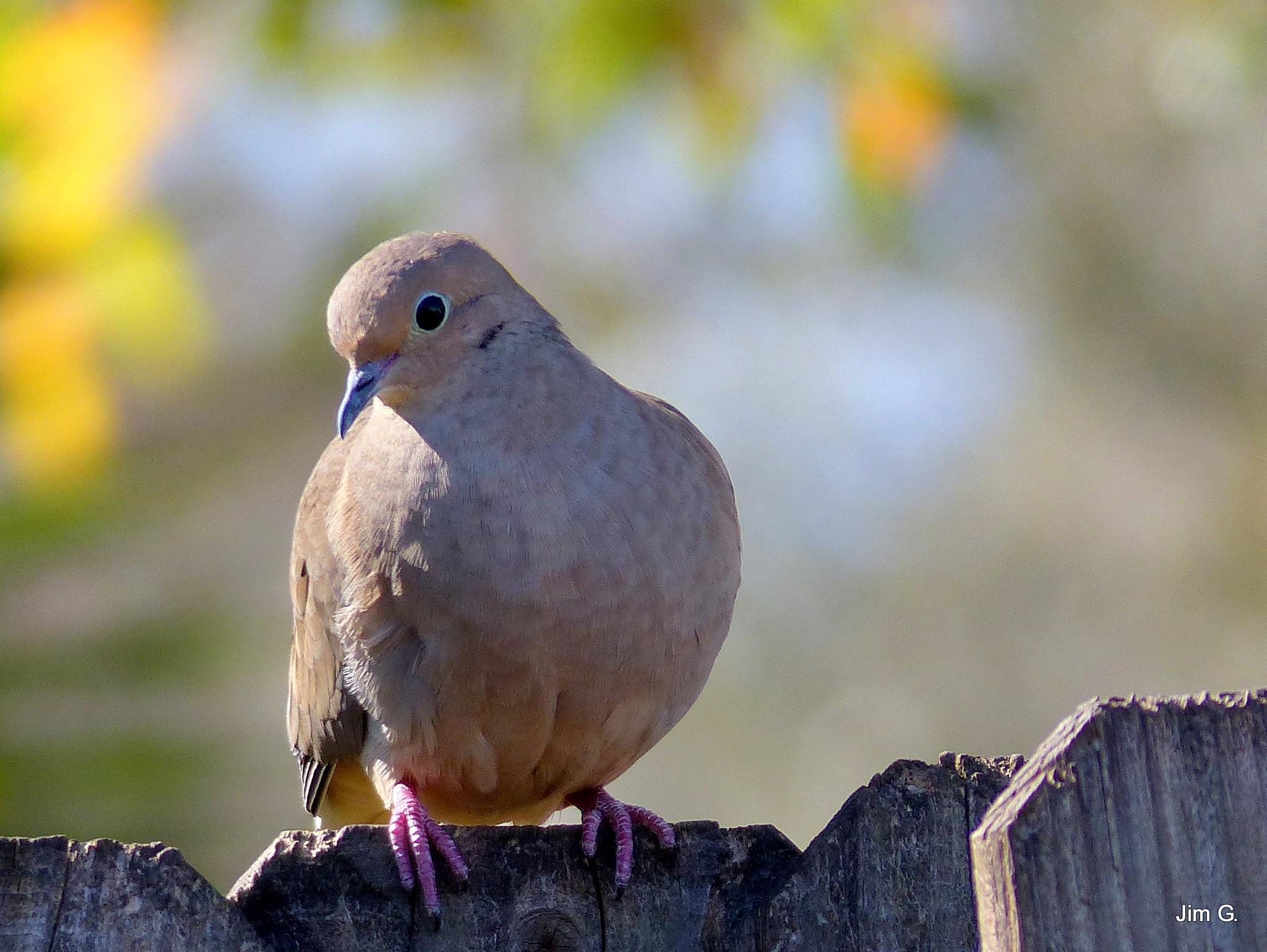 Soft Dove by Jim Graham