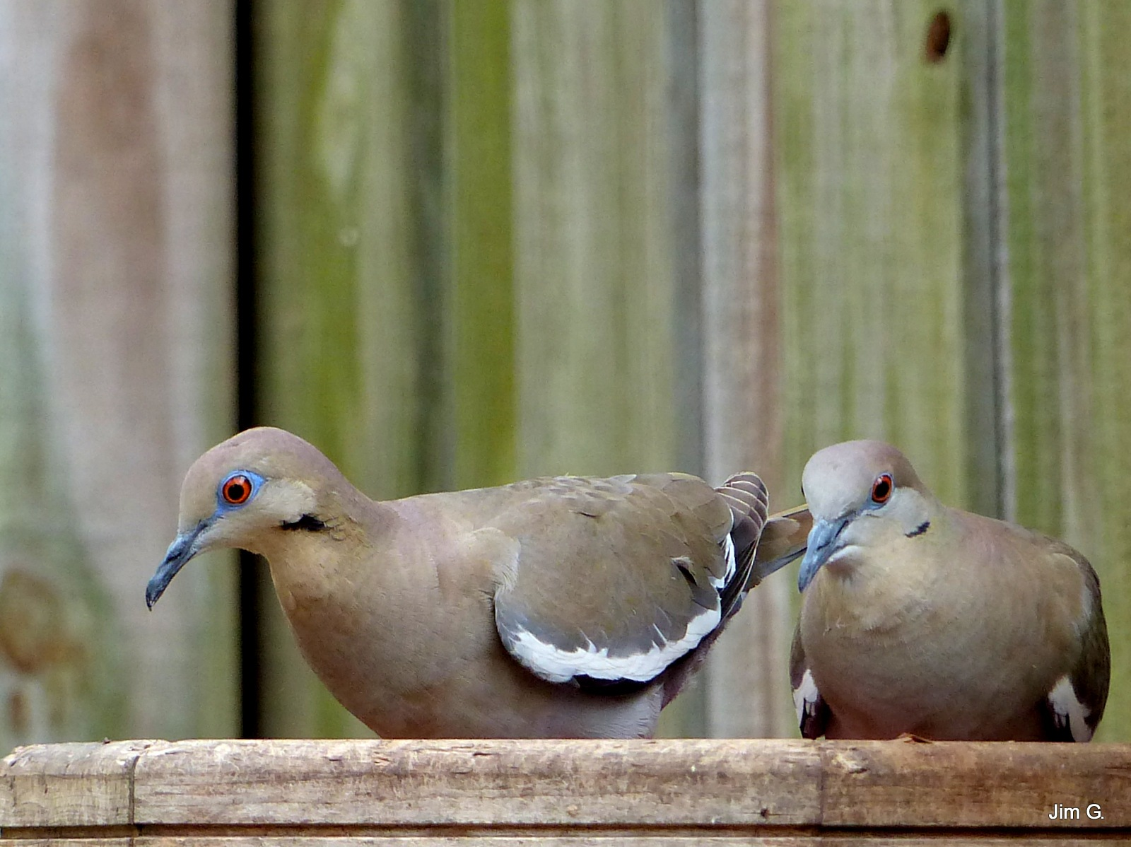 Pair of Doves in the Bird Feeder by Jim Graham