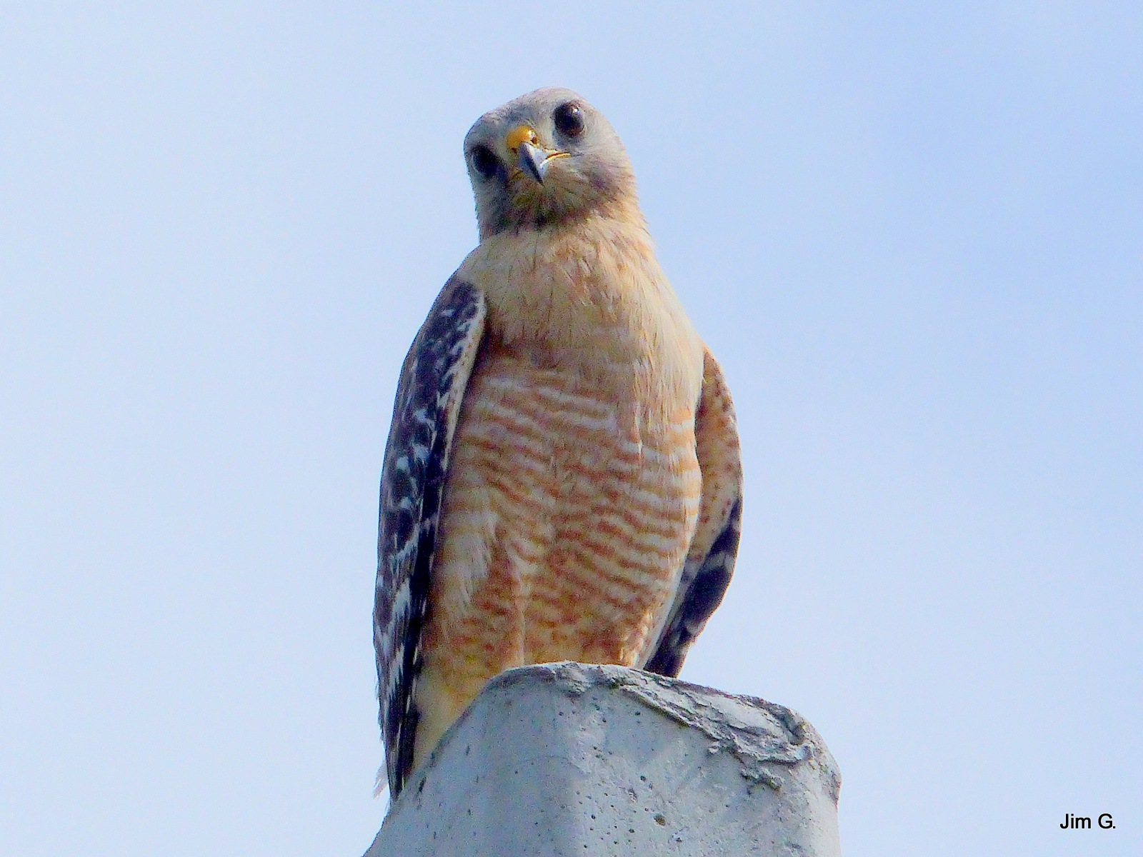 Baby Hawk Resting on Post by Jim Graham