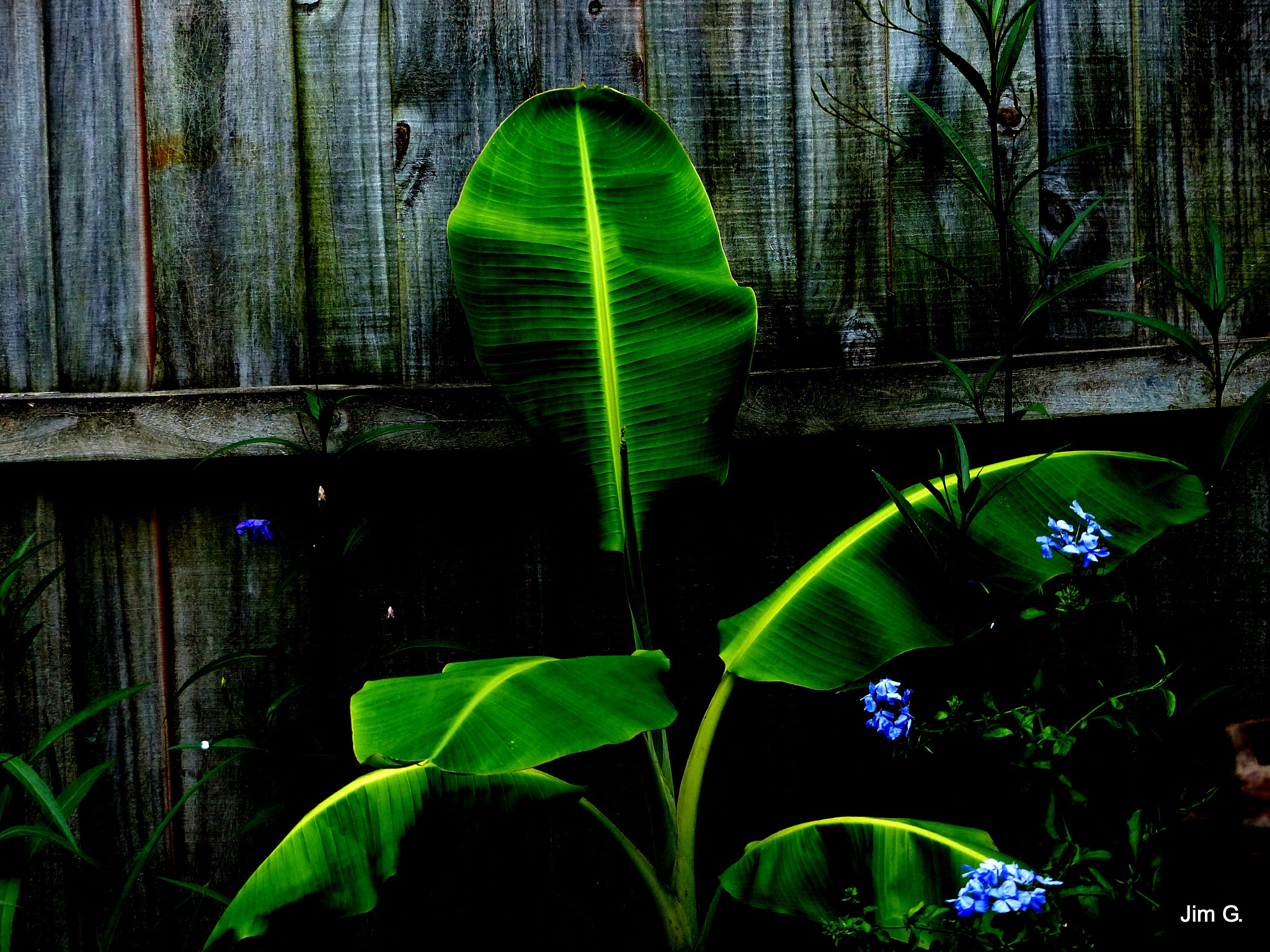 Banana Plant with Fluorescent spines on Leaves by Jim Graham