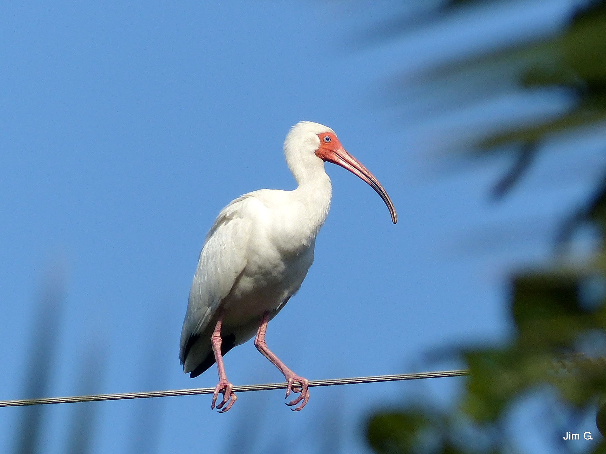 Ibis checking out the area by Jim Graham