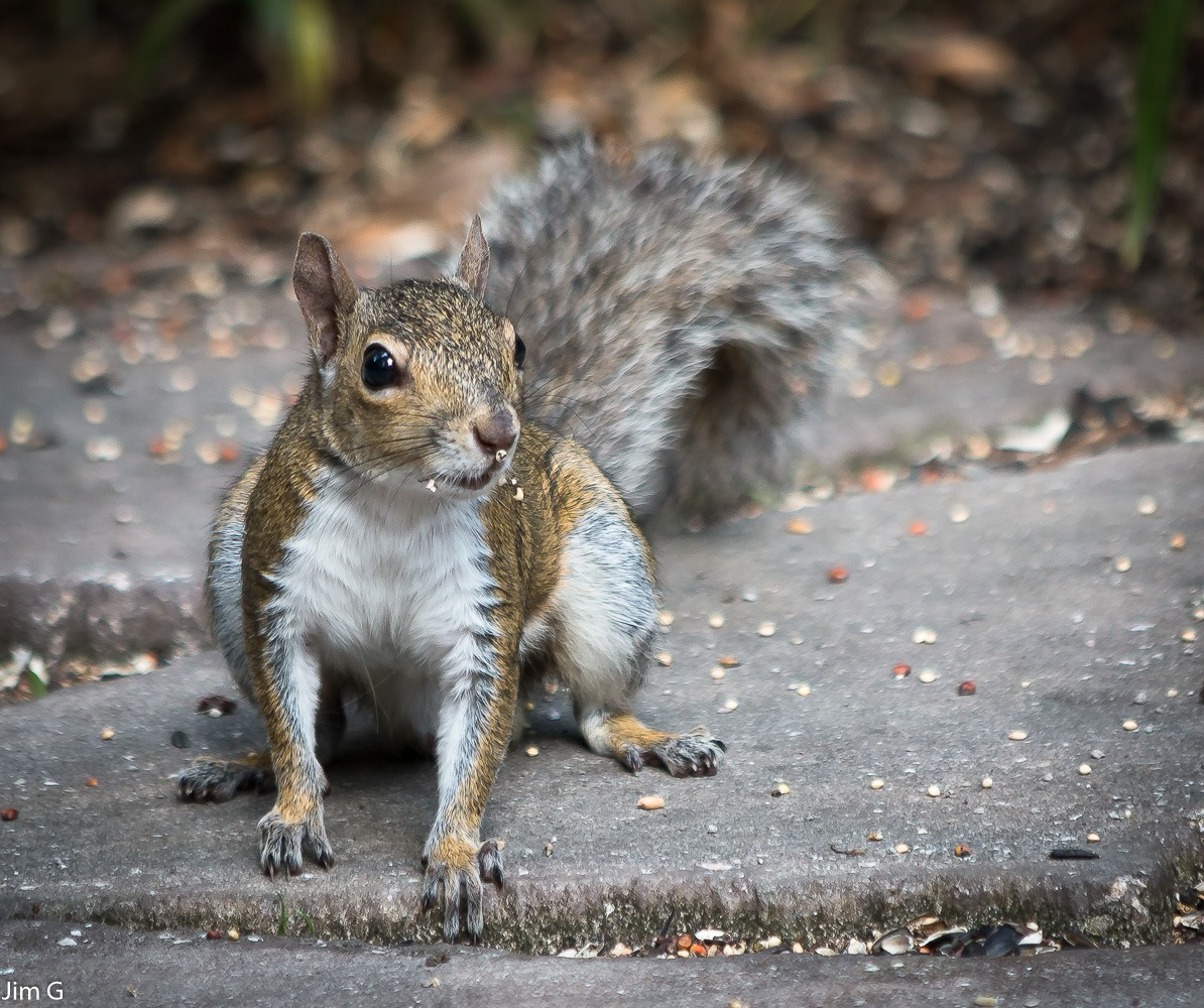 Squirrel feeding on the ground by Jim Graham