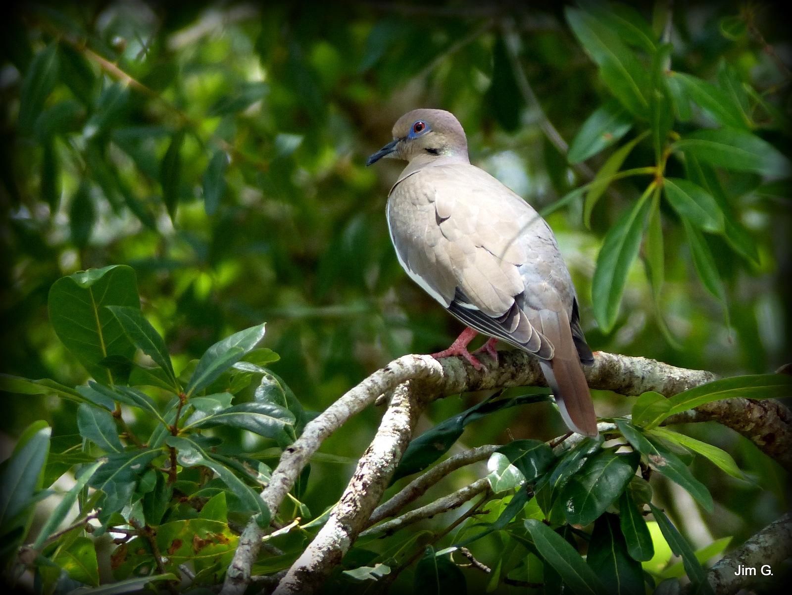 Dove in the Oak Tree by Jim Graham