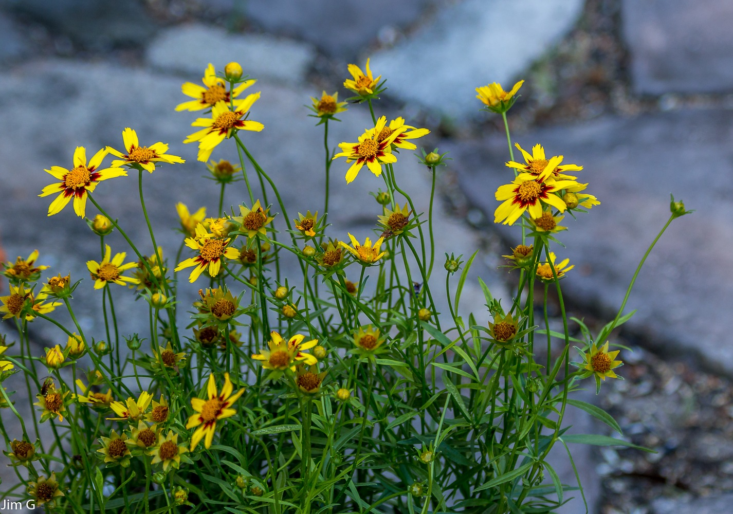 Coreopsis Plant by Jim Graham
