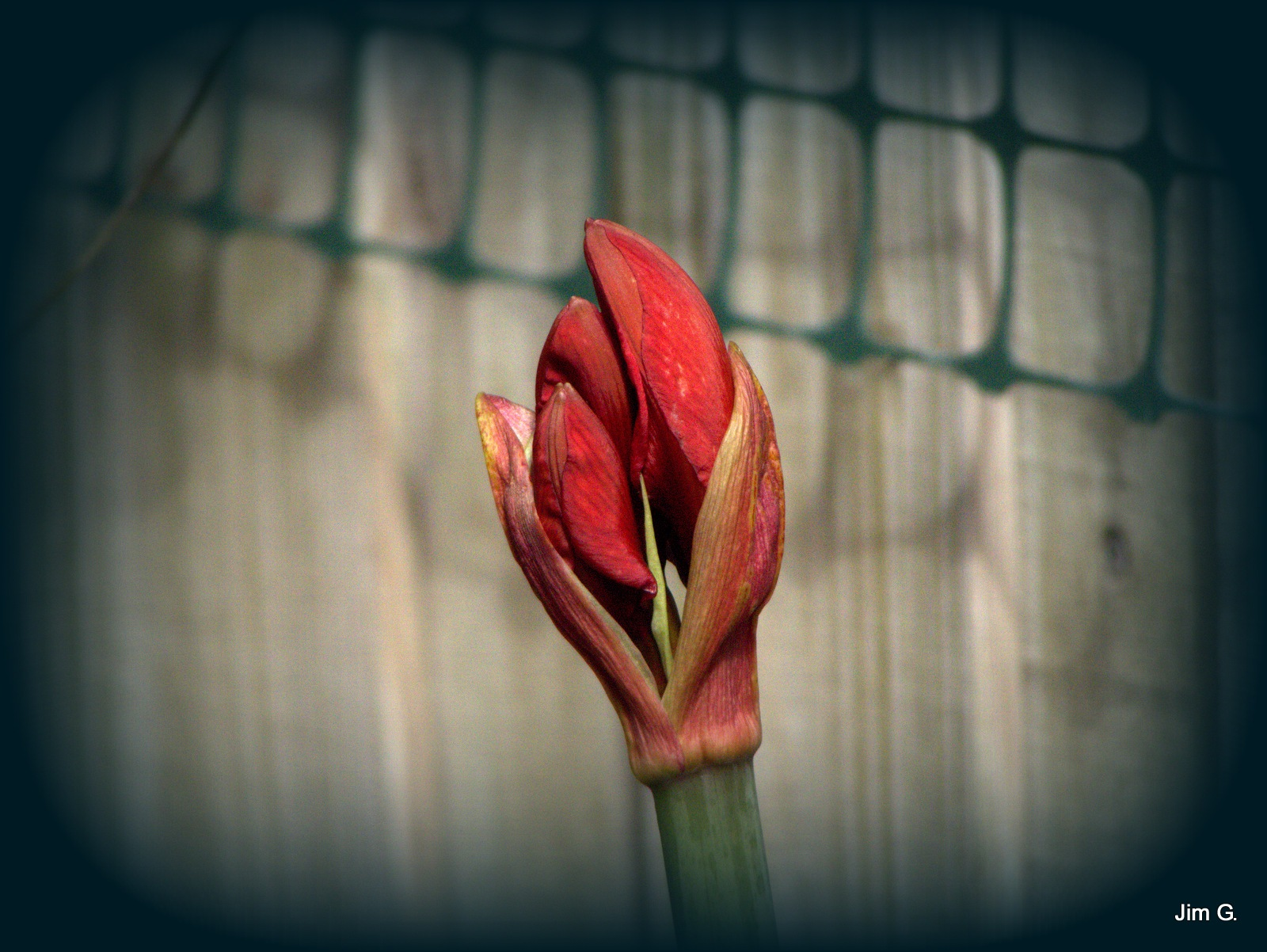 Amaryllis Buds by Jim Graham