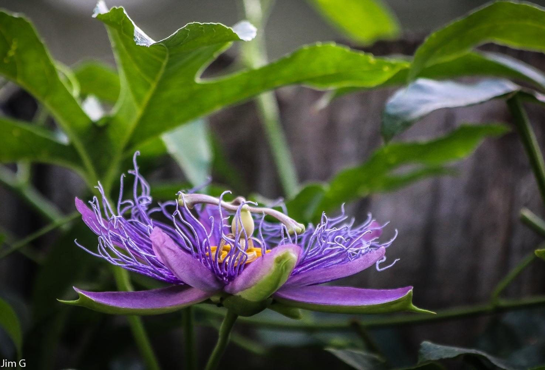 Purple Passion Flower by Jim Graham