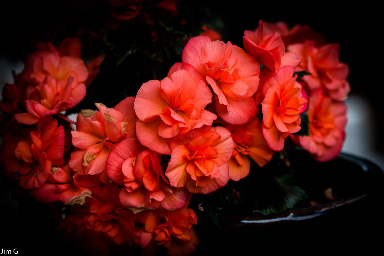 Begonia up Close by Jim Graham