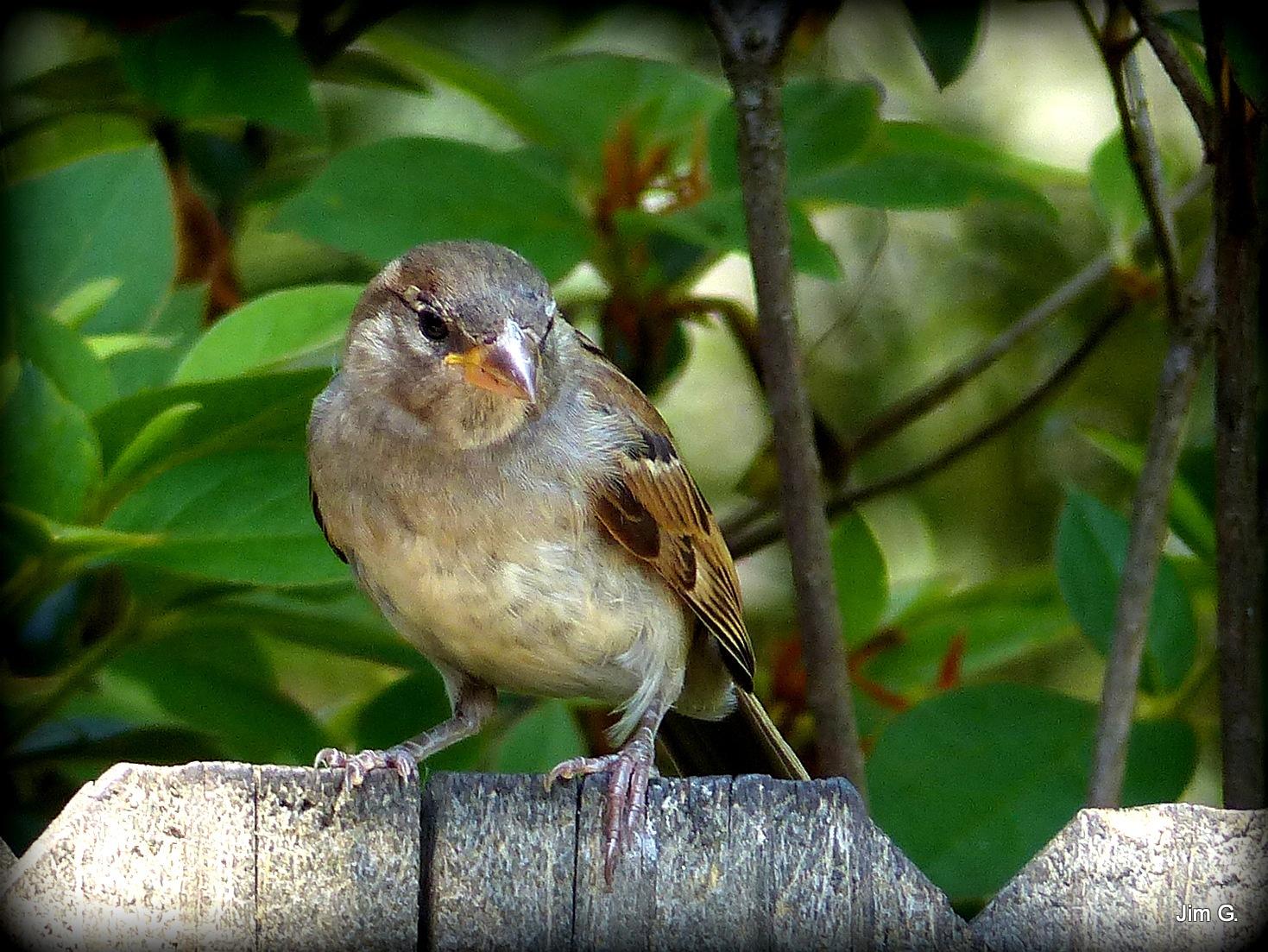 Female Sparrow by Jim Graham