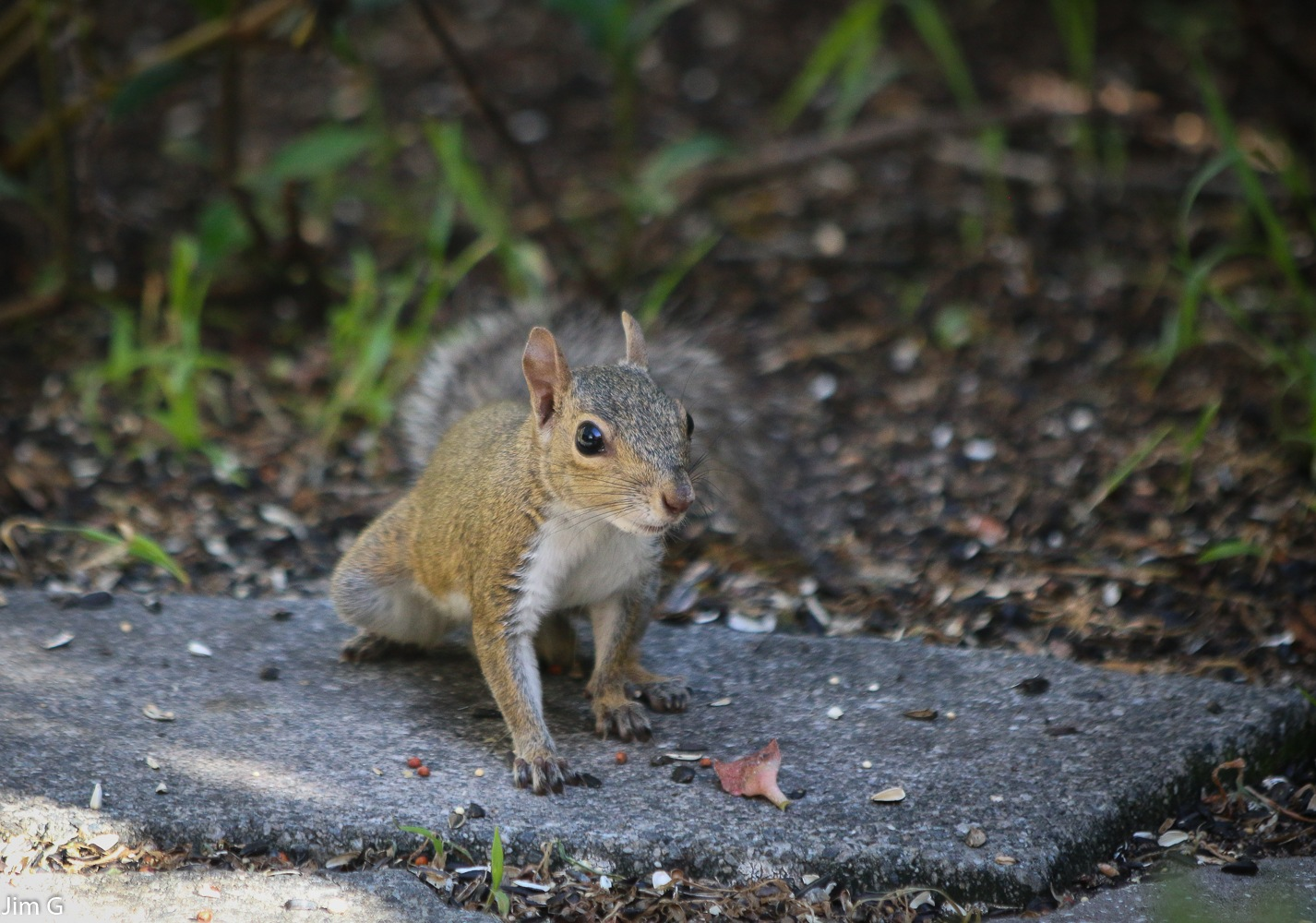 Very young Squirrel by Jim Graham