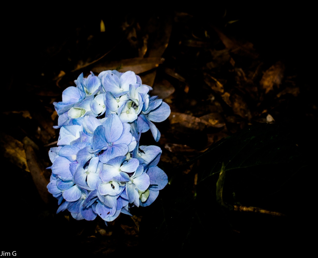 Hydrangea bloom cluster by Jim Graham