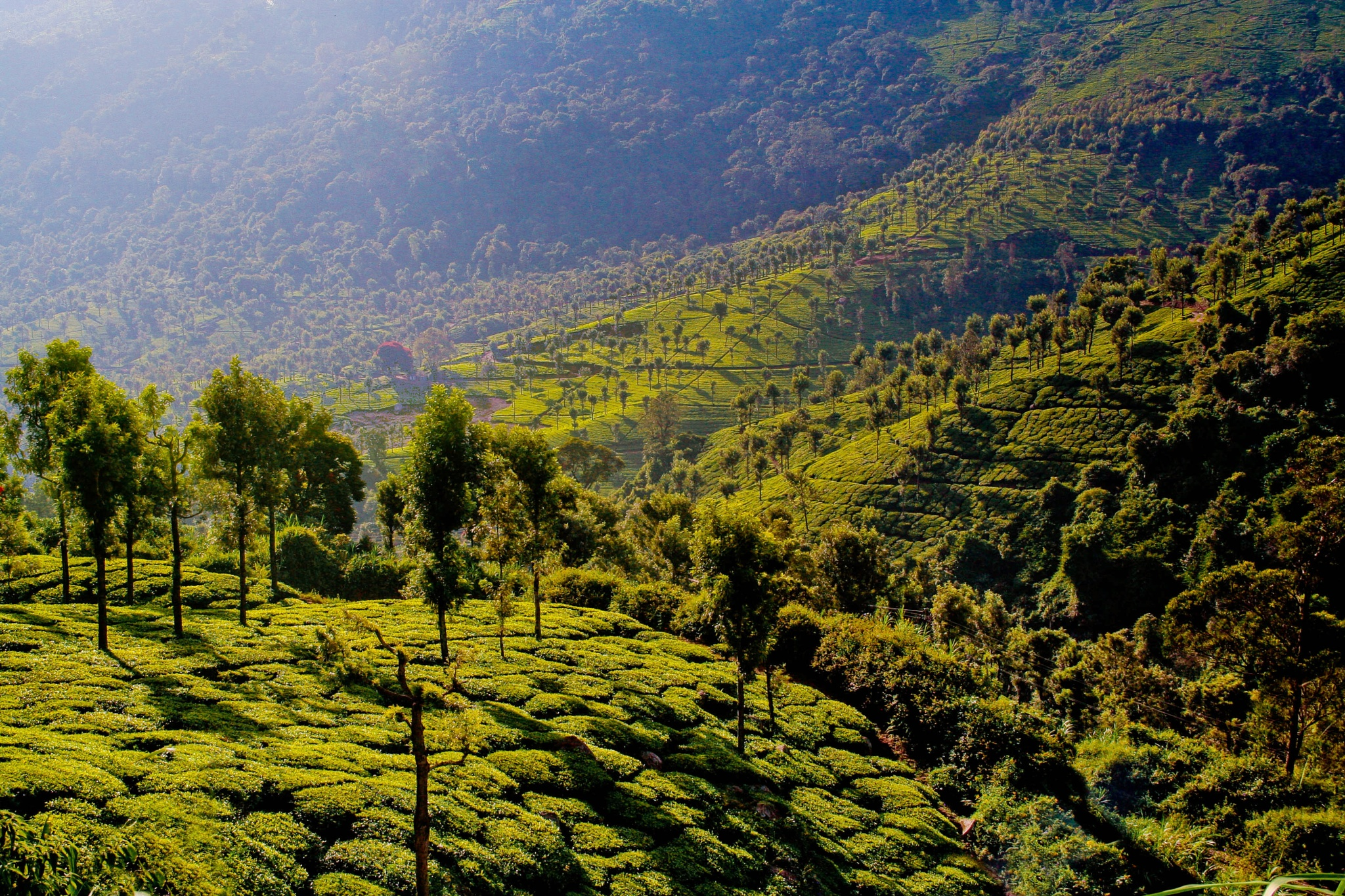 Tea garden by Mahul milan Mukherjee