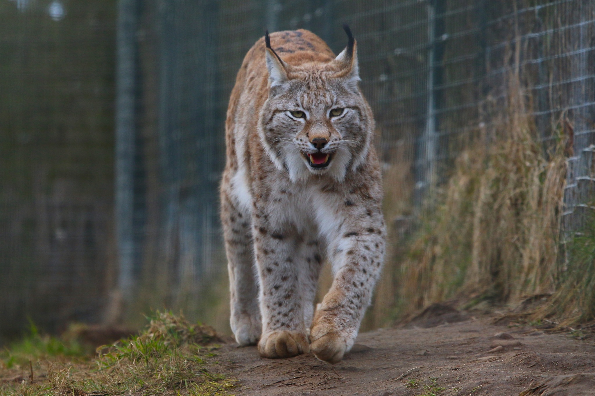 Wildcat  by Gary Fox