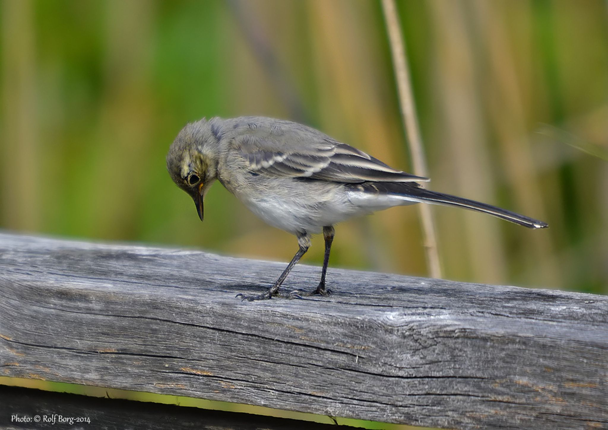 Young Wagtail..... a bit shy, but very cute!! :) by Rolf Borg
