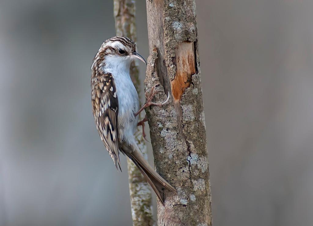 Eurasian Treecreeper by Rolf Borg