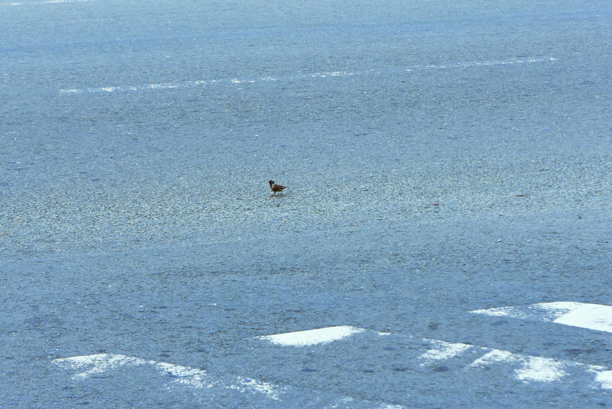 Sparrow on the road by rgalbarillo