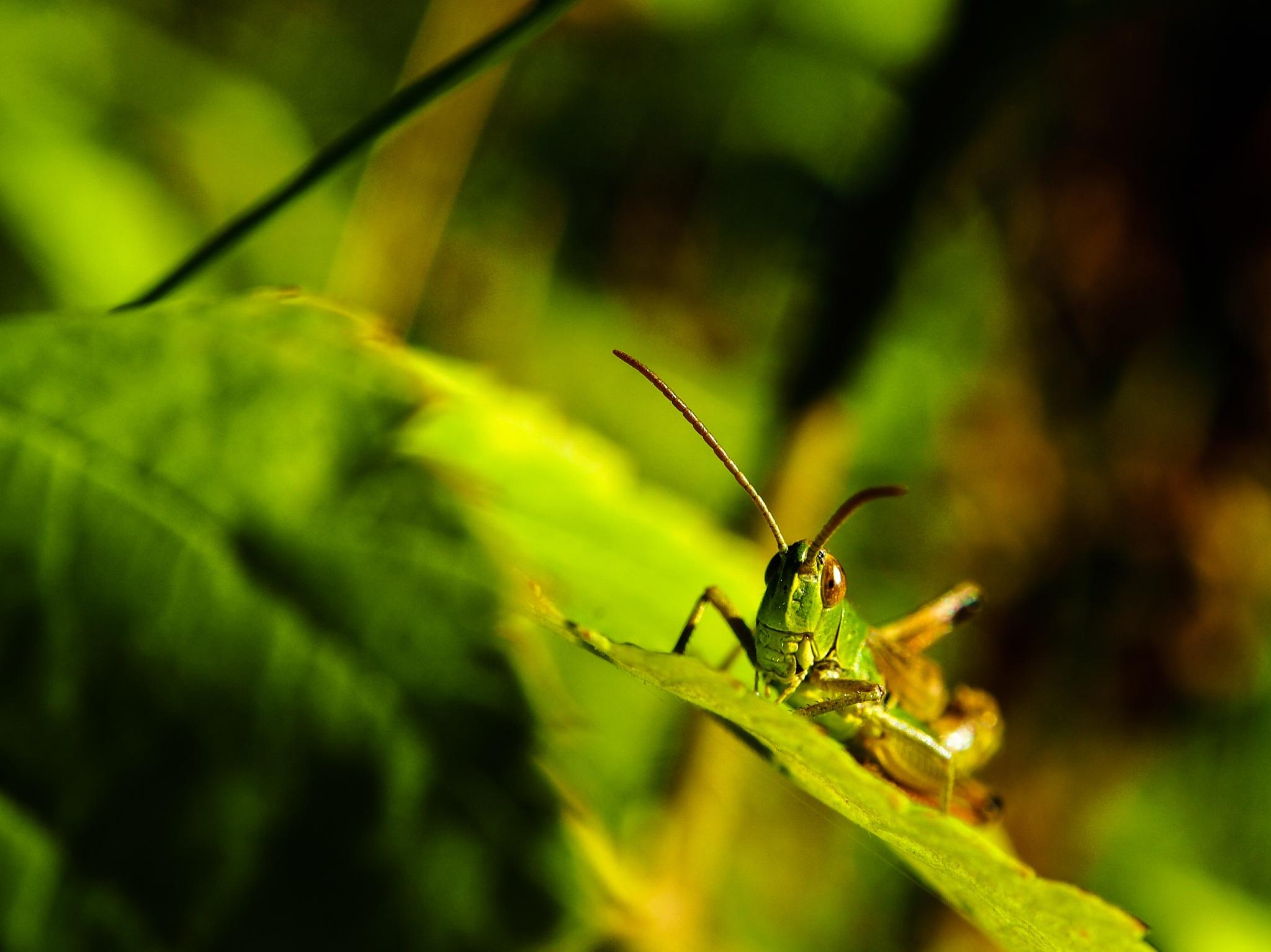 grasshopper by lundmadsen86