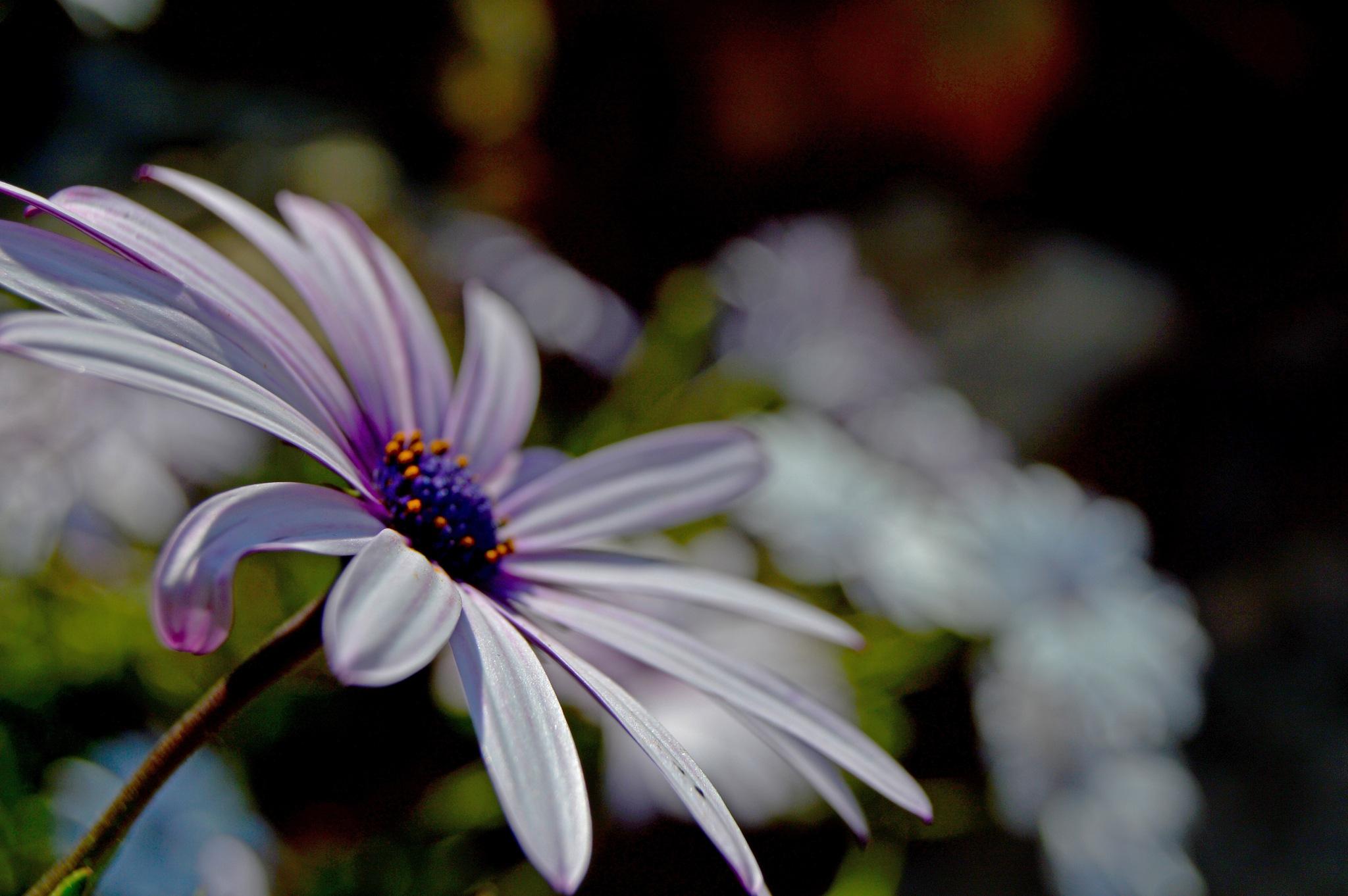soft petals by Finn_photography