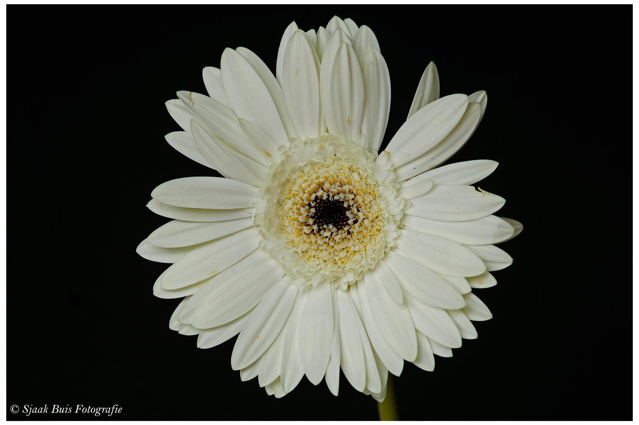 Flower the Gerbera 2 by Sjaak Buis